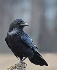 65 Ideas black bird wings drawing for 2019 Escorpion Tattoo, Rabe Tattoo, Quoth The Raven, Raven Bird, Blue Raven, Beautiful Birds, Animals Beautiful, Vogel Silhouette, Tattoo Bauch