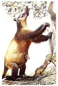 Artist's reconstruction of the recently extinct Tasmanian megafauna -- a Palorchestes, a marsupial similar to a giant sloth. Illustration by Peter Schouten. http://www.smh.com.au/photogallery/environment/australian-megafauna-20120322-1vn0v.html