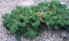 Pinus sylvestris Hillside Creeper  ... 2' tall x 8' wide ... neighbor's yard?