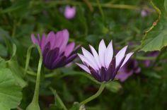 Dúo de flores lila. SCL