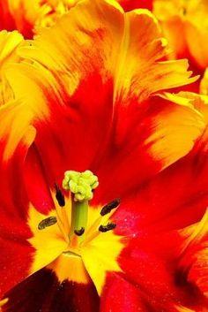 parrot Tulip macro by susana