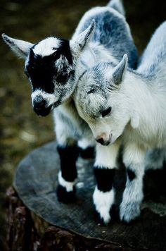 Adorable baby goats