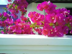 Bougainvillea - resting on the fencing