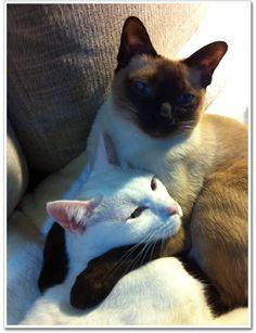 タイ猫 カオマニー Khaomanee Siamese แมวไทย ขาวมณี Antique Thai Cats アンティークタイキャット