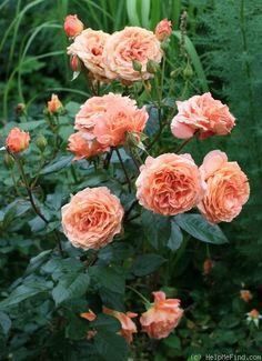 obtenteurs et fermiers de roses on pinterest rose roses garden and garden roses. Black Bedroom Furniture Sets. Home Design Ideas