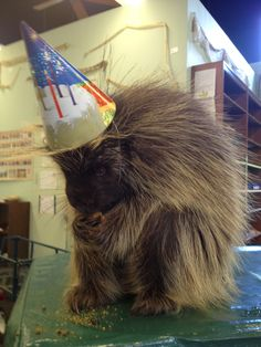 LOOK: Porcupine Has World's Cutest Birthday Party