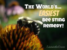 The World's Easiest Bee Sting Remedy! (This is a simple remedy to be aware of as we get closer to Spring)