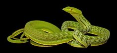 Google Image Result for http://www.generalexotics.com/images/Asian-Vine-Snake.jpg