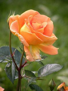 Stunning Apricot Color Rose: