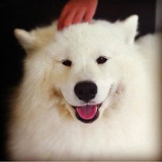 Bella the Samoyed #Puppy #Dogs