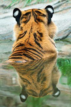 Tiger reflection (by Tambako the Jaguar)