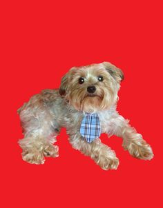 Awww doggy tie... too cute!  Isnt this yorkie dog Eli so adorable!  #puppy #yorkshire terrrier  www.fetchdogfashions.com