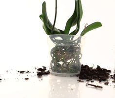 What is the Ideal Pot-Size for Phalaenopsis Orchids?