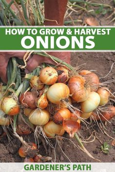 How to Grow and Harvest Onions Do you love onions in your stew pot? Love cooking with these savory bulbs? If so, try growing them at home. It's easier than you think and you can find out all you need to know in this in-depth guide from Gardener's Path. Home Vegetable Garden, Fruit Garden, Flowers Garden, Flower Gardening, Container Gardening, Water Garden, Growing Onions, Growing Vegetables, Gardening Vegetables