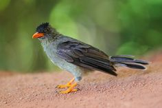 Seychelles Bulbul   Flickr - Photo Sharing!