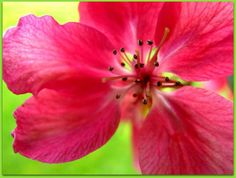 Apple blossoms by Annie Japaud on Apple Blossoms, Pink Apple, Long Awaited, Spring Blossom, Annie, Flora, Garden, Plants, Beautiful