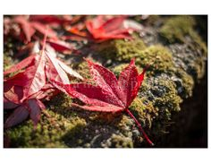 Japanese Maple Leaves on Mossy Wall with by SierraMtnArtPrints
