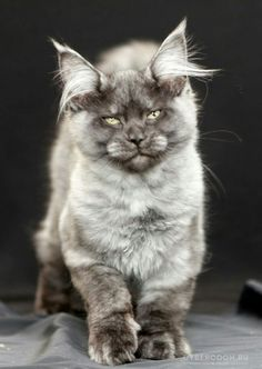 Cat Lovers Community - Your Daily Source of Cat Stories and Funny Cat Memes Pretty Cats, Beautiful Cats, Animals Beautiful, Cute Animals, Baby Animals, Funny Animals, Cute Cats And Kittens, I Love Cats, Cool Cats