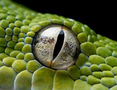 25 of the most amazing (and colorful) animal eyes i& ever seen Les Reptiles, Reptiles And Amphibians, Python Drawing, Reptile Eye, Terrarium Reptile, Photos Of Eyes, Young Animal, Snake Eyes, Colorful Animals
