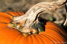 Pumpkin | by Carola Bartz