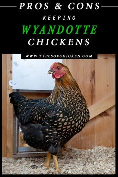 Pros & Cons About Keeping Wyandotte Chickens - As we said many times before we write these articles based on our own opinions and experiences. Types Of Chickens, Raising Backyard Chickens, Keeping Chickens, Meat Chickens, Breeds Of Chickens, Urban Chickens, Wyandotte Chicken, Portable Chicken Coop, Chicken Coops