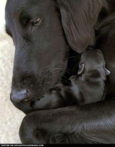 Labrador Retriever Cuddling Her Baby -> For Doglovers http:// pindoggy.com