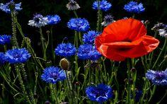 """Mezei-Virágcsokrok - Virágok eredete,Virágok jelentése,virágos képek, - Rózsák-Virág"""" csodák."""".. magazin - Hotdog.hu"""