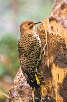 Northern Flicker, woodpecker, Simon Bolyn