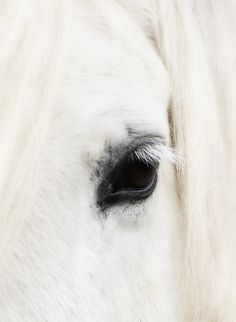 White horse close up detail.  So beautiful