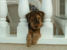 Google Image Result for http://cdn.greatdogsite.com/resources/photos/from_owners/Welsh%2520Terrier-watermarked-1225376820.jpg