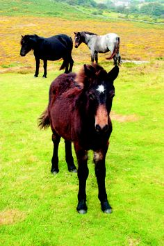 """""""Here I was presented with a dilemma: Baring-Gould himself had sent down an order that I be given the household's ageing Dartmoor pony, a beast with a rough coat and a gloomy eye.""""  """"The Moor"""" by Laurie R. King."""