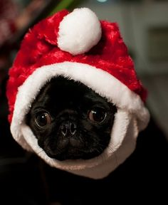 """Receive terrific ideas on """"black pugs"""". They are accessible for you on our internet site. Pug Pictures, Pug Pics, Happy Animals, Cute Animals, Black Pug Puppies, Pug Mug, Funny Dog Videos, Cute Pugs, Christmas Animals"""