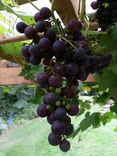 Druiven, een maand voor oogst.