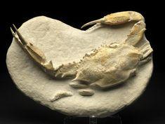 fossil crab neptunus