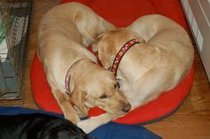 Two cute Guiding Eyes labs snuggled up, and yes, they make a heart!