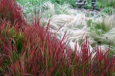 Japanese red grass and Mexican Feather grass