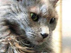 Chantilly-Tiffany cat