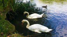 White swans #swan #bird #white #pond #lake