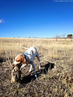 Pheasant Hunt in Southwest Colorado Upland Bird Hunting Quail Hunting, Deer Hunting Tips, Pheasant Hunting, Elk Hunting, Turkey Hunting, Archery Hunting, Country Boys Love, Pigeon Breeds, Hunting Birthday