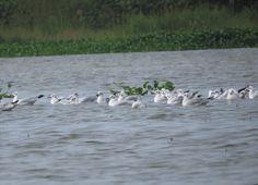 tom_2014 posted a photo:  A flock of Brown-headed Gulls (Chroicocephalus brunnicephalus) seen on Lake Inle, Eastern Burma/Myanmar.
