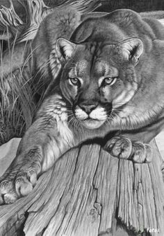 Realistic Drawings This picture looks like it is a photograph taken by a camera placed in front of it. At first glance, I thought it was a black and white photo but it is actually a realistic drawing. Animal Drawings, Art Drawings, Realistic Drawings Of Animals, 3d Pencil Drawings, Mountain Lion, Mountain Paintings, Wildlife Art, Big Cats, Cat Art