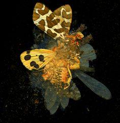 Matt Collishaw | art, curiosities, oddities, insects, entomology, memento mori, colors