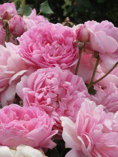 'Maid Marion ' | Shrub. English Rose Collection. David C. H. Austin, 2010