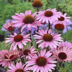 Perenn Röd solhatt Magnus - GTG30071-3 - Bygghemma.se 6 Pack, Drought Tolerant Plants, Flower Farm, Hats For Women, Beautiful Flowers, Garden, Google, Products, Plants