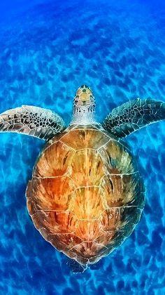 Endangered Hawaiian Green Sea Turtle - Green turtles were a source of food… Especie Animal, Mundo Animal, Beautiful Creatures, Animals Beautiful, Cute Animals, Turtle Love, Green Turtle, Ocean Creatures, Tier Fotos
