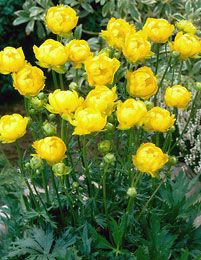 trollius cultorum- to plant with amsonia