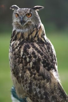 Eurasian Eagle Owl (Bubo bubo). Photo by Marty Vaughan.