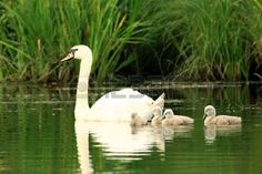 mother swan with chicks
