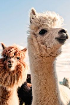 Forget the kitten or the labrador, the alpaca is the new . Cute Baby Animals, Farm Animals, Animals And Pets, Funny Animals, Alpacas, Amazing Animals, Animals Beautiful, Cute Alpaca, Funny Animal Pictures