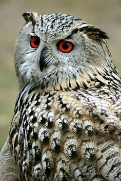 OWL with beautiful Eyes!❤